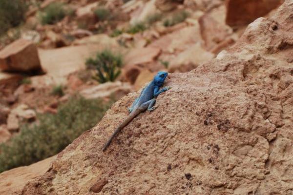 9-blauwe-hagedis8B4784D9-702B-7693-AD6A-E5A36C449DBD.jpg